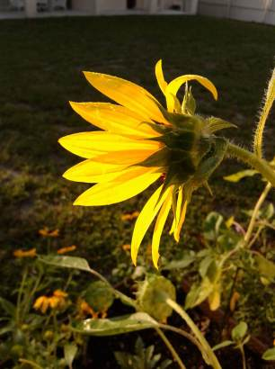 Sunflower in morning light