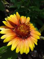 A yellow-ish blanket flower
